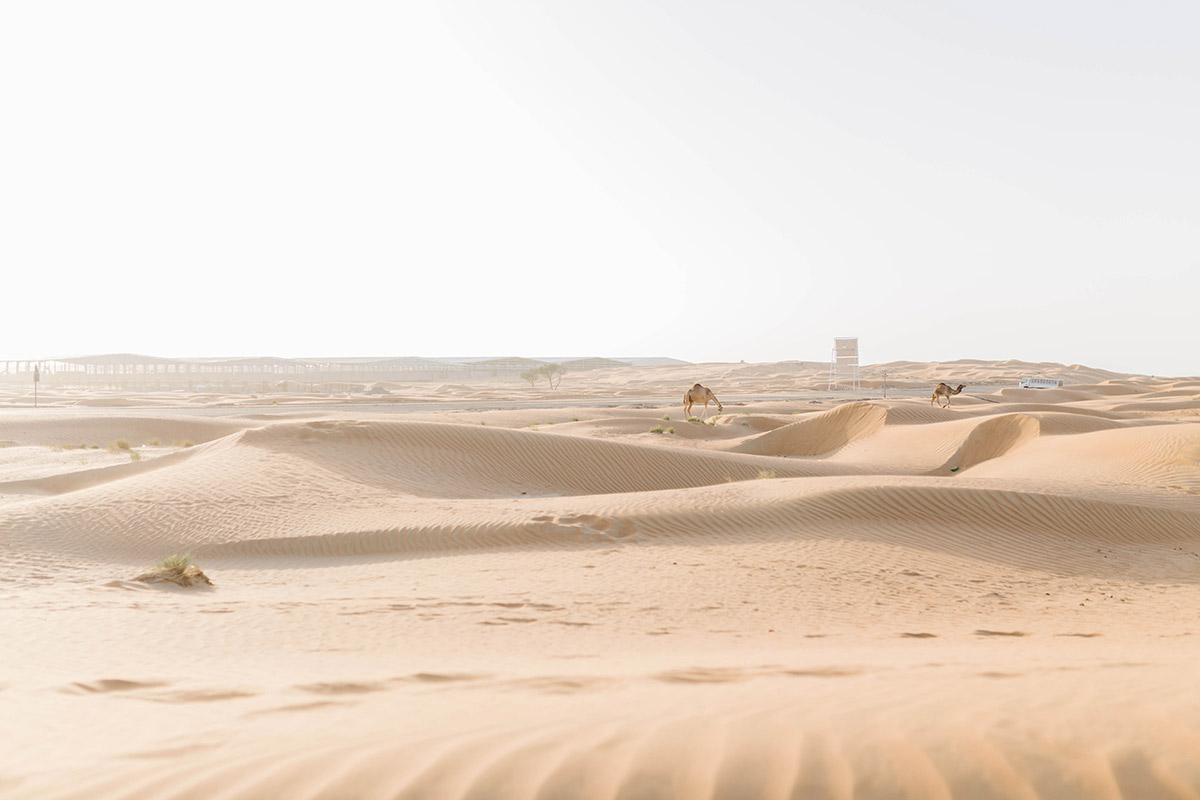 camels in desert close to Dubai